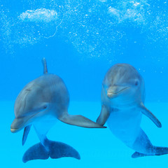 FototapetaTwo dolphins in the water