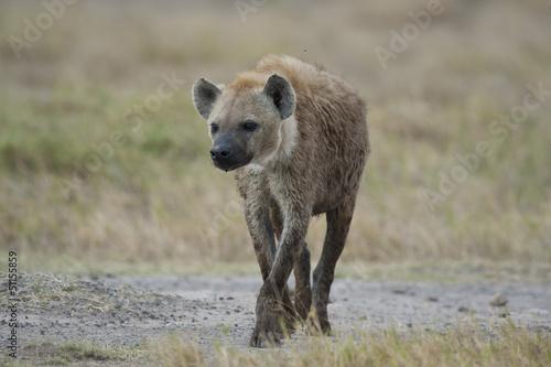 In de dag Hyena Hyena walking in the Savannah