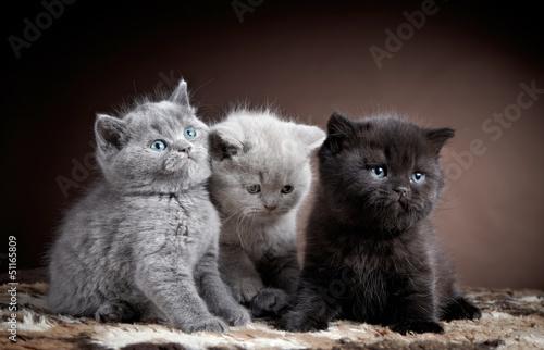 Foto auf Leinwand three british short hair kittens
