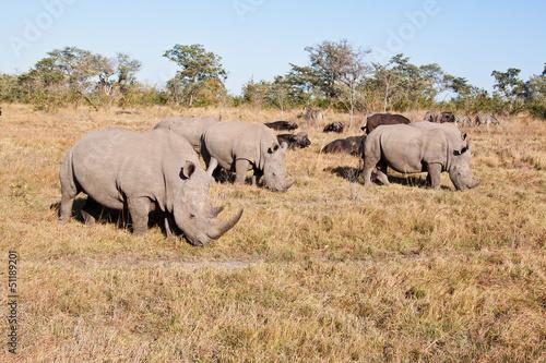 Spoed Foto op Canvas Neushoorn Rhino herd standing on grass plain