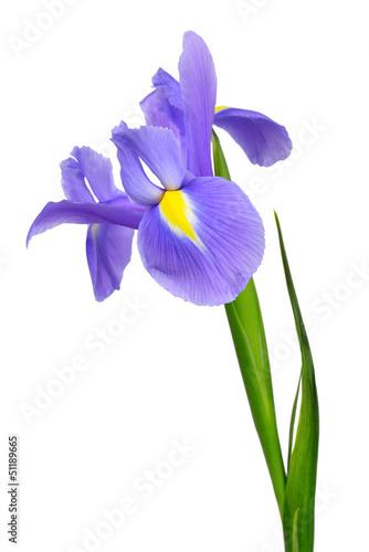 Deurstickers Iris purple iris flower isolated on white background