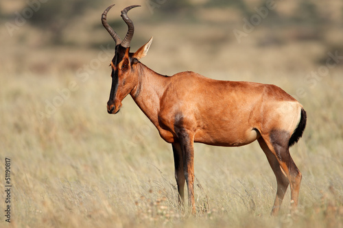 Spoed Fotobehang Antilope Red hartebeest