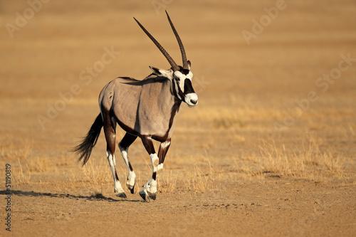 Foto op Plexiglas Antilope Running gemsbok antelope, Kalahari desert