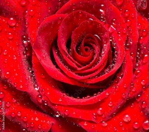 zamknij-sie-kwiat-rozy