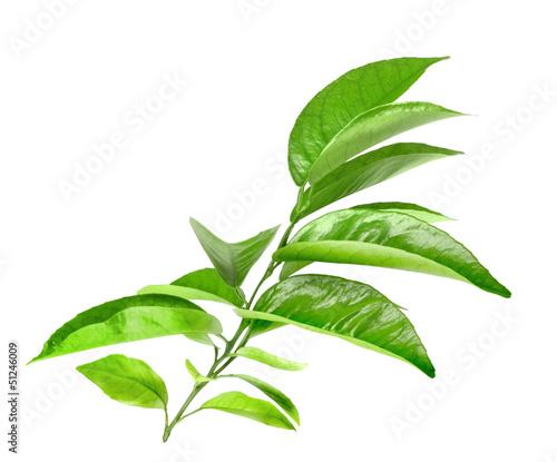 Canvas Prints Condiments Branch of citrus tree