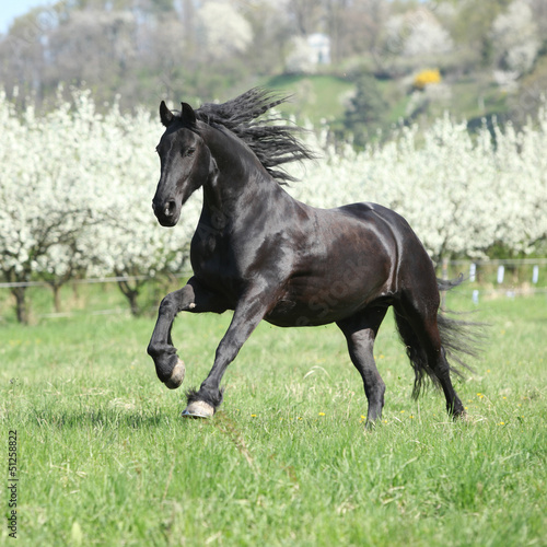 Foto op Canvas Paarden Gorgeous friesian mare running in front of flowering trees