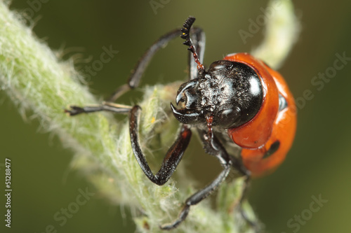 Fotografie, Obraz  red beetle