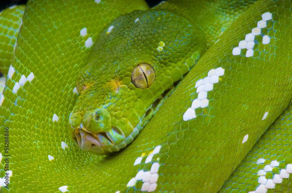 Green tree python / Morelia viridis Poster, Plakat   3+1 GRATIS bei ...