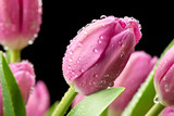 Fototapeta Kwiaty - Tulipany na czarnym tle