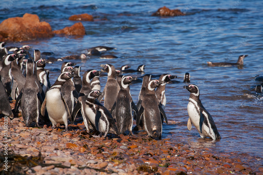 Magellanic penguin, Atlantic Coast, Patagonia, Argentina