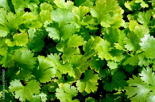 Young coriander herb plant © Arena Photo UK