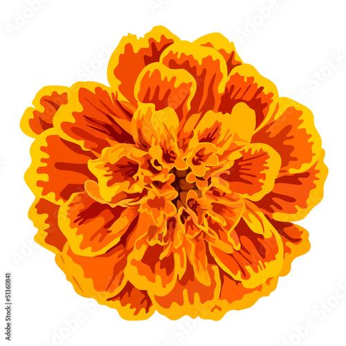 Fotografía  Orange marigold flower vector