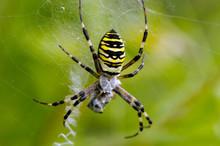 Wasp Spider Spiderweb Catch Prey