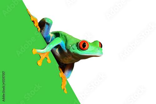 Photo red-eye frog  Agalychnis callidryas in terrarium