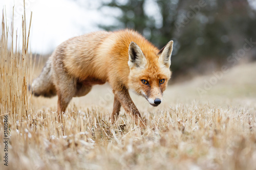 Photo  red fox