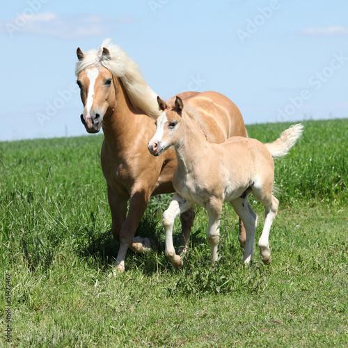Foto-Flächenvorhang ohne Schienensystem - Beautiful haflinger mare with a foal (von zuzule)