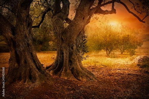 Spoed Foto op Canvas Olijfboom Old olive tree