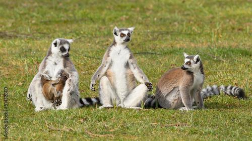 Poster Oceanië Ring-tailed lemur (Lemur catta)
