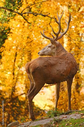 Rothirsch im Herbst