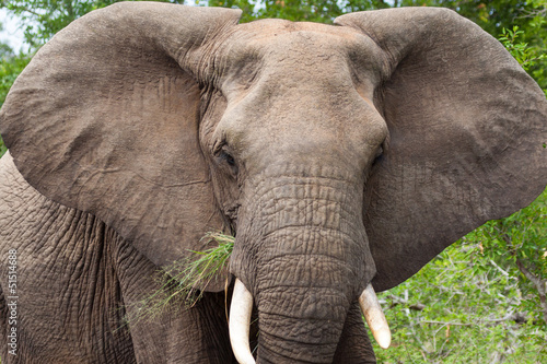 Recess Fitting Elephant African Elephant Enjoying Succulant Grass in Kruger NP