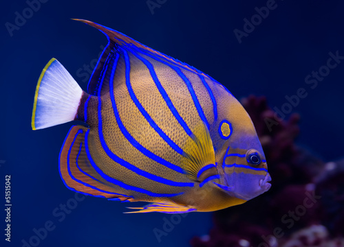 Poster Sous-marin Bluering angelfish