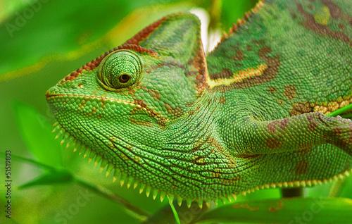 In de dag Kameleon Chamaeleo calyptratus