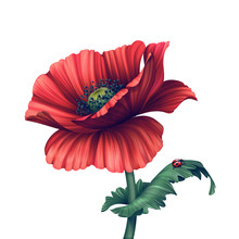 Illustration Of Red Poppy Flower Isolated On White