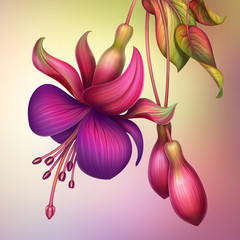 Obraz na Szklefuchsia flower macro isolated illustration