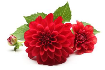 crveni cvijet dalije