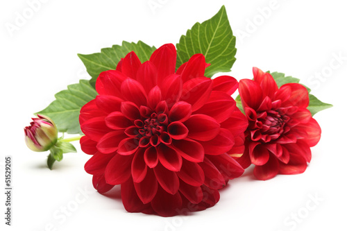 Canvas-taulu red dahlia flower