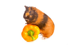 Guinea Pig About Pepper , Isolated