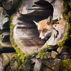 Fototapeta Red Fox (Vulpes vulpes)
