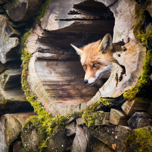 Red Fox (Vulpes vulpes) Canvas Print