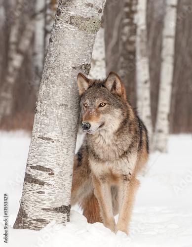 Szary wilk (Canis lupus) stoi obok brzozy