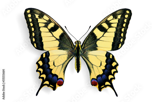 Fotomural Specimen of Common Swallowtail (Papilio machaon)