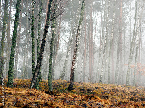 Spoed Foto op Canvas Bos in mist Birch trees in early spring