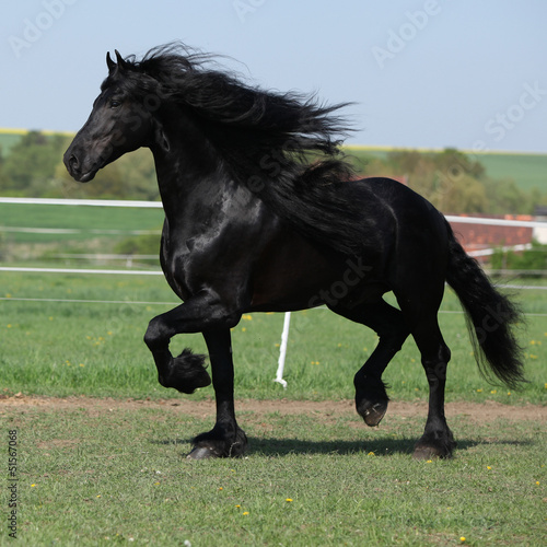 Foto op Canvas Paarden Gorgeous friesian stallion with long mane running on pasturage