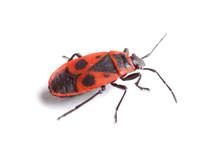 Firebug ( Pyrrhocoris Apterus) Isolated On White