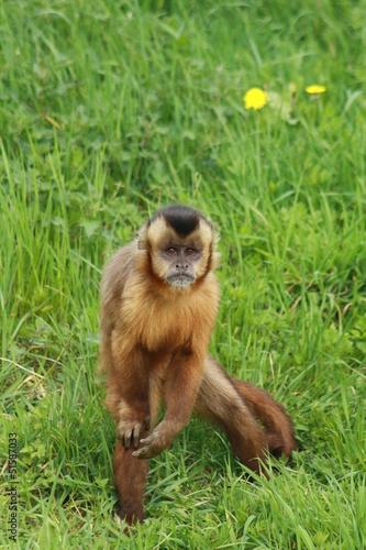 Photo Capucin apella ou tufted capuchin