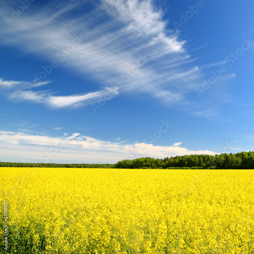 Fotobehang Geel rural landscape. Yellow rapeseed field in Latvia