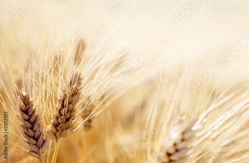 Canvas Prints Culture Wheat field