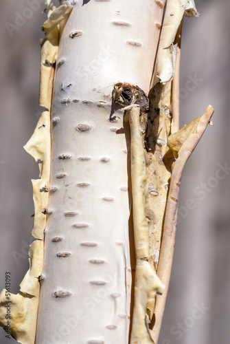 Foto op Canvas Berkbosje Close-up of a birch tree trunk