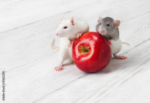 Plakat na zamówienie white rats with red apple