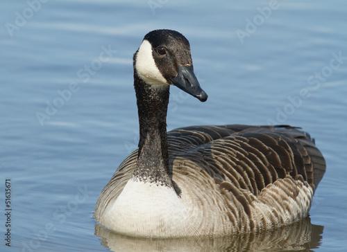 Photo  Canadian Goose