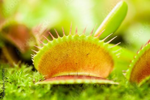 Fotografia Venus flytrap leaf