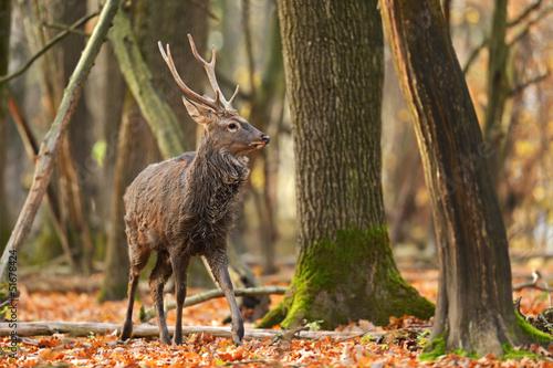 Fotobehang Ree Spotted Deer