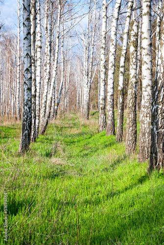Spoed Fotobehang Berkbosje birch forest in the spring