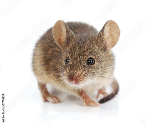 Fotografie, Obraz  House mouse (Mus musculus)