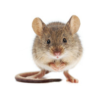 House Mouse Standing (Mus Musc...