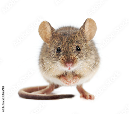 Fotografie, Obraz House mouse standing (Mus musculus)